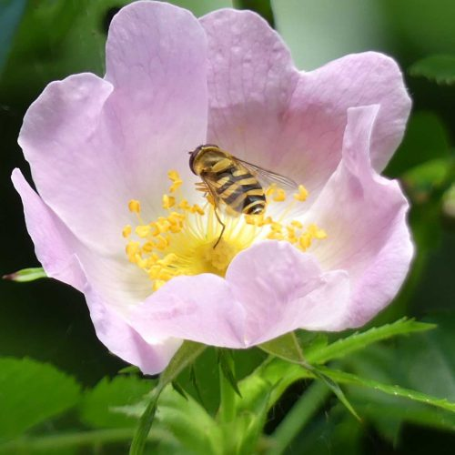 160703-Bryn Euryn-55-Hoverfly in dog rose flower