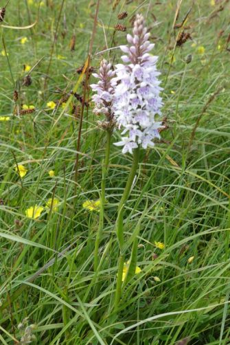 160703-Bryn Euryn-Common Spotted Orchid