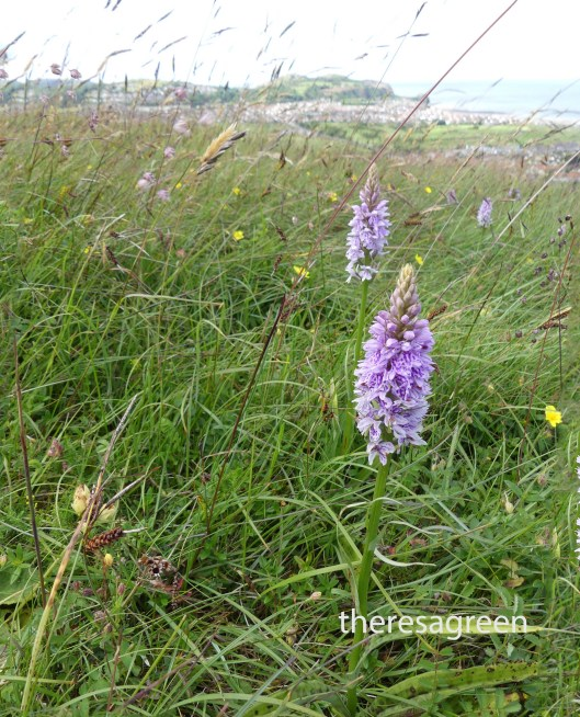 Common Spotted Orchids -Bryn Euryn-Little Orme in background
