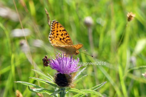160703-Bryn Euryn-Dk Green Fritillary & fly on knapweed 1