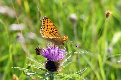 160703-Bryn Euryn-Dk Green Fritillary & fly on knapweed 1