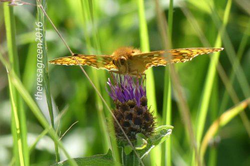 160703-Bryn Euryn-Dk Green Fritillary & fly on knapweed 3