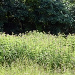 Hemp Agrimony