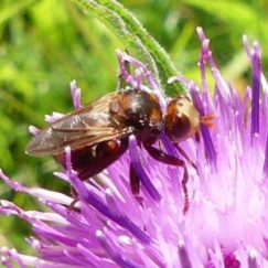 160703-Bryn Euryn-Knapweed with sicus ferrugineus
