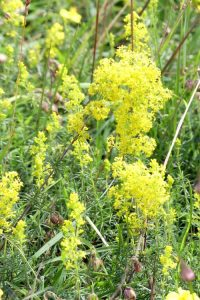 160703-Bryn Euryn-Lady's Bedstraw