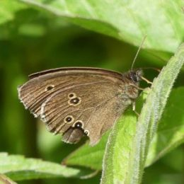 Ringlet