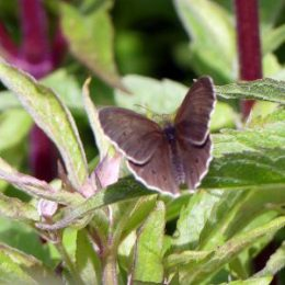 Ringlet-Aphantopus hyperantus