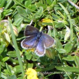 Silver-studded Blue female
