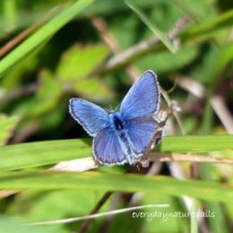 Silver-studded Blue male