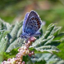 160714-GO-Silver-studded Blue on nettle