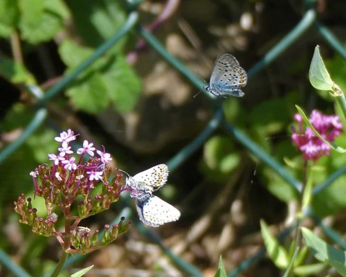 160714-Gt Orme 23-West Shore-Silver-studded Blues