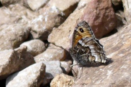160714-Gt Orme 50a-West Shore-Grayling