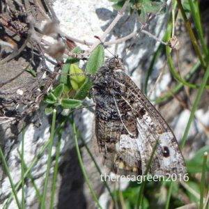 160714-Gt Orme 57a-West Shore-Grayling