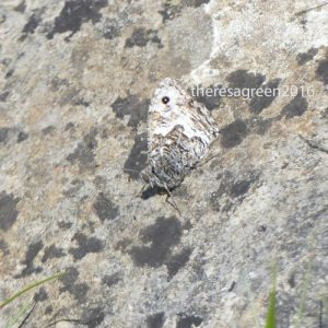 160714-Gt Orme 58a-West Shore-Grayling