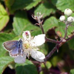 Silver-studded Blue (f) on dewberry flower