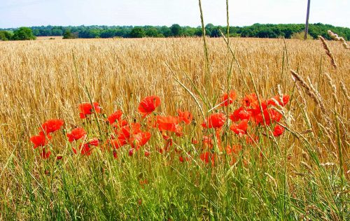 060712-Cornfield & Poppies