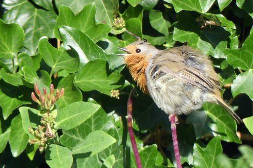 160617-KW (1)-Robin 'sunning'