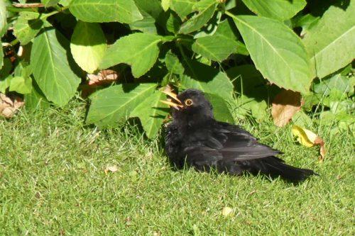 160617-KW (17)-Blackbird 'sunning'