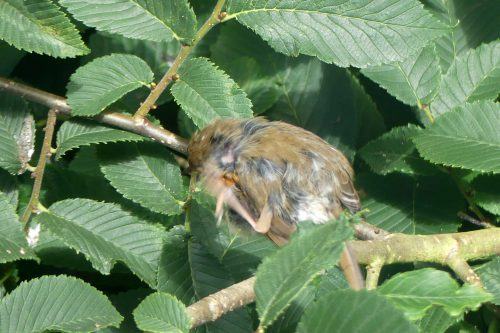 160713-KW (10)-Robin preening-with ticks