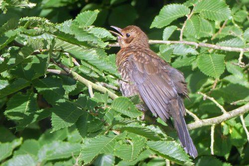 160718-KW (3)-Blackbird sunning