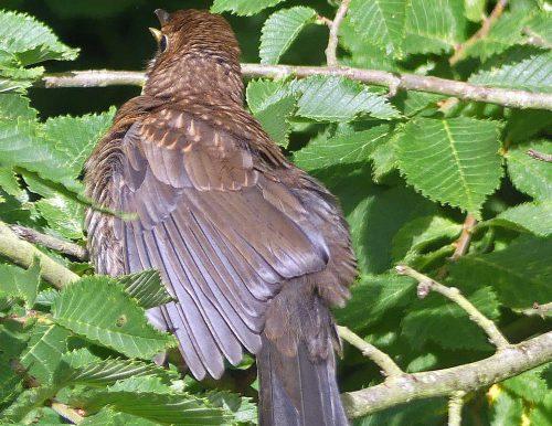 160718-KW (6)-Blackbird wing feathers