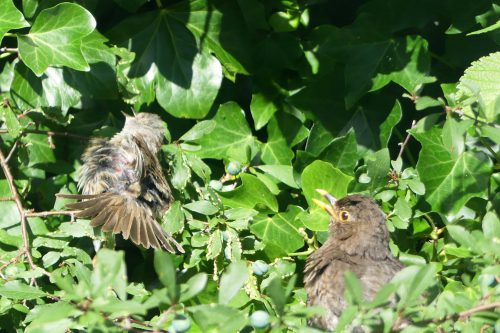160803-KW (3)-Blackbird & dunnock sunning