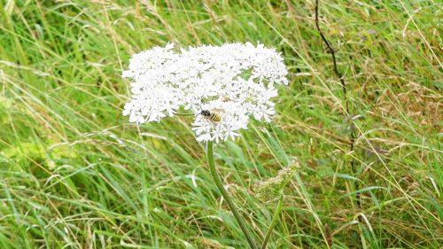 160805-Bryn Euryn (103)-Hogweed in a sea of grass