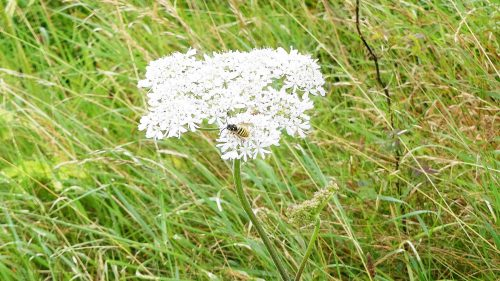 160805-Bryn Euryn (103)-Hogweed in a sea of grass