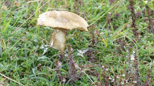 160805-Bryn Euryn (110a)-Mushroom with Eyebright-Euphrasia micrantha