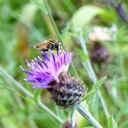 160805-Bryn Euryn (113)-Helophilus (f) on knapweed