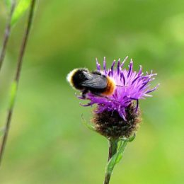 Red-tailed bumblebee (male)