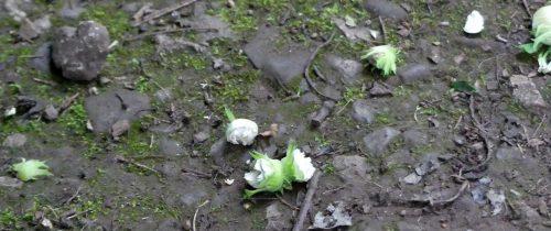 160805-Bryn Euryn (18)-ground littered with hazelnuts
