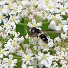 160805-Bryn Euryn (187)-hfly Leucozona sp