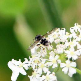 160805-Bryn Euryn (188)-hfly Leucozona sp