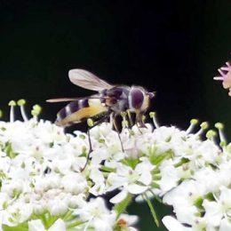 160805-Bryn Euryn (189)-hfly Leucozona