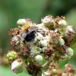 Tree Bumblebee (male)