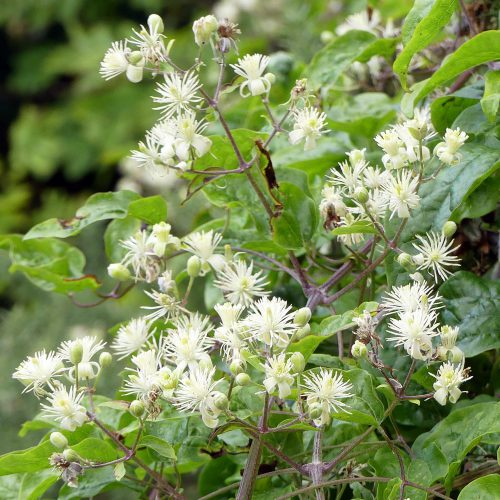 160805-Bryn Euryn (34)-Wild clematis flowers