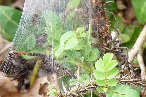 160805-Bryn Euryn (40a)-Nursery web spider on web