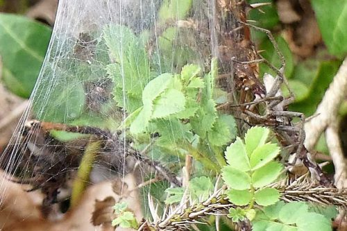 160805-Bryn Euryn (40a)-Nursery web spider on web