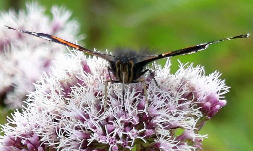 160805-Bryn Euryn (61)-Red Admiral front view