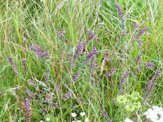 160805-Bryn Euryn (73)-Red Bartsia-Odontites vernus