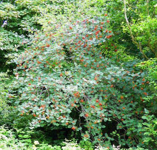 160805-Bryn Euryn (74)-Rowan tree