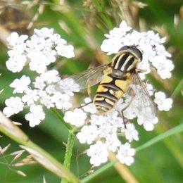 Sun fly-Helophilus pendulus (f)