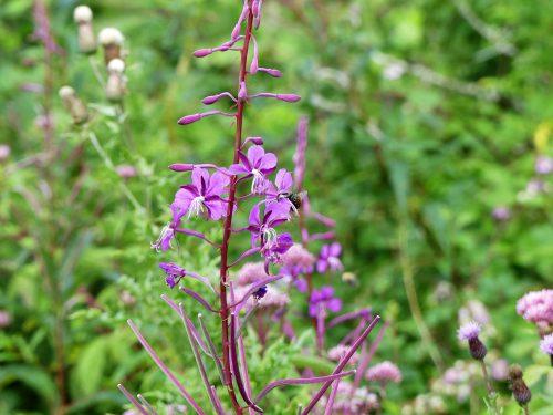 160805-Bryn Euryn (94)-Rosebay willowherb flower