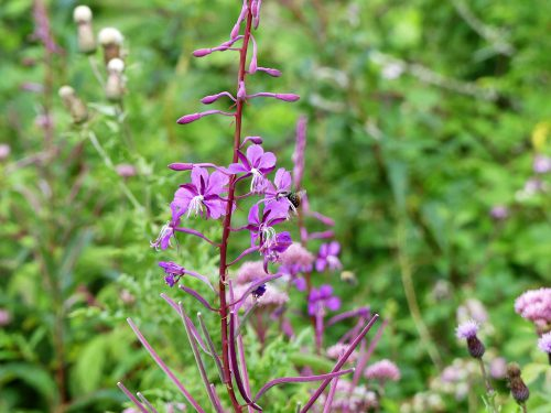 160805-Bryn Euryn (94)-Rosebay willowherb flower