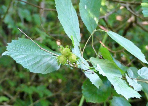 160805-Bryn Euryn-Hazelnuts (not ripe)