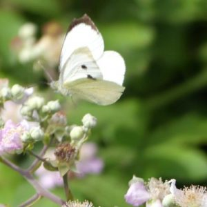 160807-LTLORME (36)-Large White flying