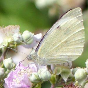 160807-LTLORME (37a)-Lage White nectaring on bramble