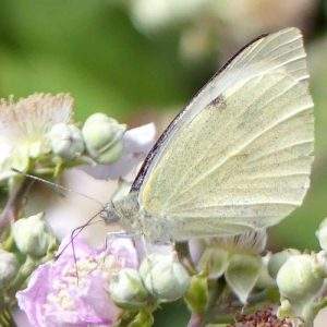 160807-LTLORME (37a)-Lage White nectaring on bramble