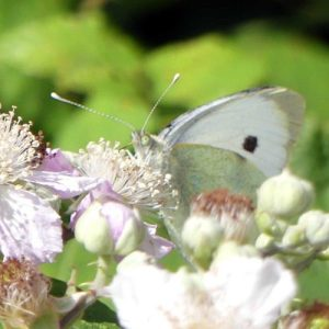 160807-LTLORME (43)-Large White front view